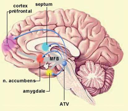 Le noyau acumbens est une structure neurale majeure du système de récompense